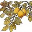 Modele de vitrail, branche de citron