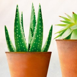 Stickers sans colle, les cactus